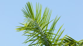 Swaying palm frond on blue sky background. High definition video - Swaying palm frond on blue sky background stock footage