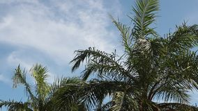 Swaying palm tree against. The blue sky stock video footage