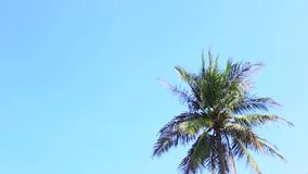 Swaying palm tree against the sky. Swaying palm tree against the blue sky stock video footage