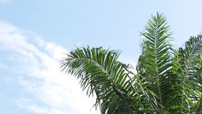 Swaying palm tree against the  sky. Swaying palm tree against the blue sky stock footage