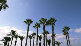 Swaying palm trees against the blue sky. Swaying palm trees against the sky stock video