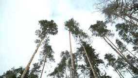 Swaying pine stock video