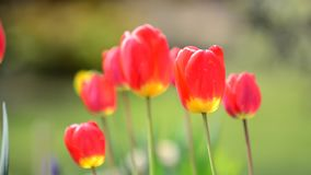 Swaying Red Tulips stock video footage