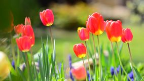 Swaying Red Tulips stock footage
