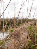 A swaying reed on a breezy overcast day with in focus with the b Stock Images