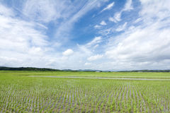 Swaying rice field and sky Stock Image