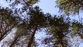 Swaying treetops, view from below to the top,Looking up at swaying slowly pine tree tops against clear blue sky in. The coniferous forest. Low angle view stock video footage