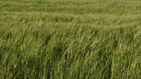 Swaying wheat field stock footage