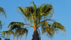 Swaying by wind leaves of palm tree, top of palm in sunny day. 4K stock footage
