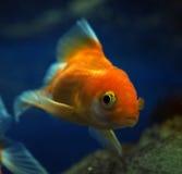 Sweaming золотых желтых рыб подводный около утеса на глубоком Стоковое фото RF