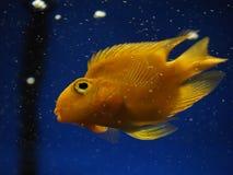 Sweaming золотых желтых рыб подводный около утеса на сини Стоковые Фото