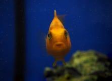 Sweaming золотых желтых рыб подводный около утеса на сини Стоковое фото RF
