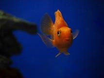 Sweaming золотых желтых рыб подводный около утеса на сини Стоковая Фотография