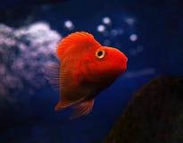 Sweaming золотых красных рыб подводный около утеса на голубом wa Стоковые Фотографии RF