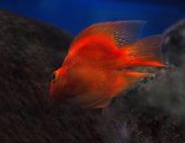 Sweaming золотых красных рыб подводный прочь около взгляда утесов для Стоковое фото RF