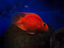 Sweaming subacqueo del pesce rosso dorato vicino alla roccia Immagini Stock