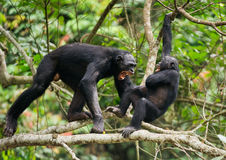 The Swearing and Aggressive Bonobo ( Pan paniscus), Royalty Free Stock Photography