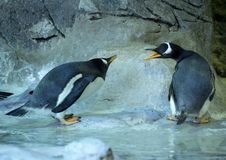 Group of Gentoo penguins on the rock. Cute animals close-up. Swearing gentoo penguins. Couple of penguins. Cute and funny birds Royalty Free Stock Photo