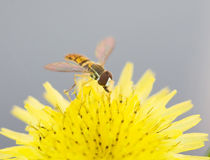 Sweat Bee. On a Dandelion royalty free stock images