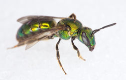 Sweat Bee. A beautiful green Sweat Bee (Halictidae) from Ithaca, NY Stock Images
