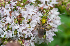 Sweat Bee Stock Images