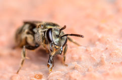 Sweat Bee. Portrait with Mouth Parts Stock Photo