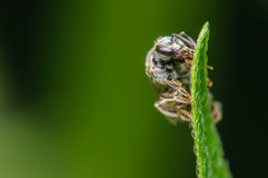 Sweat Bee. Small Black and Grey Sweat Bee on a Green Blade of Grass Stock Photos