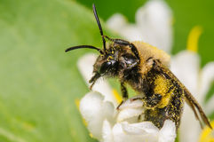 Sweat Bee. Small Sweat Bee covered in Pollen and cleaning it's antennae Stock Image