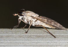 Sweat Fly Macro. Sweat fly I shot in Florida Royalty Free Stock Photos