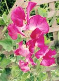 Sweat pea flowers - pink. Pink sweet pea flowers on the plant Royalty Free Stock Photos