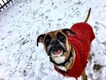 Sweater wearing dog Stock Photos