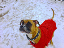 Sweater wearing dog Stock Photography