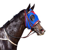 Sweaty Racehorse with Flared Nostrils. Isolated wth clipping path Stock Photography