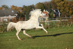Sweaty welsh mountain pony stallion Stock Image