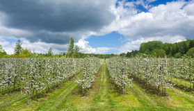 Swedish apple plantation. In blooming season Stock Photography