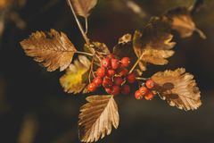 Swedish ash berry tree, closeup photo. Ripe red juicy berries in autumn park. Rowan berrie. Mountain ash Sorbus. Edible fruits loved by birds.European Sorbus royalty free stock photography