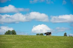 Swedish cow on a meadow3. Swedish cow on a green meadow Stock Image