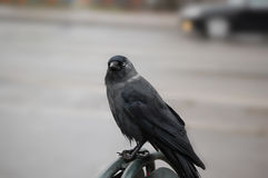 Swedish crow. Standing in a handrail Royalty Free Stock Image