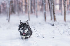 Swedish Elkhound Royalty Free Stock Images