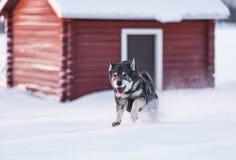 Swedish Elkhound Stock Photo