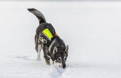 Swedish Elkhound Royalty Free Stock Photo