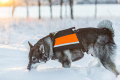 Swedish Elkhound Royalty Free Stock Images