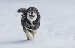 Swedish Elkhound Stock Image