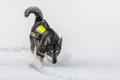 Swedish Elkhound Royalty Free Stock Photography
