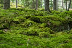 Swedish Forest. Mossy stones in Swdeish forest stock photos