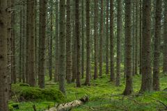 Swedish Forest. Swedish pine autumn forest with mossy stones royalty free stock images