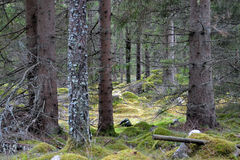 A swedish forrest Royalty Free Stock Photo