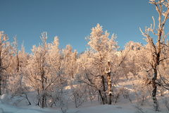 Swedish Frozen MorningTrees Stock Photos