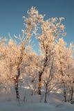 Swedish Frozen MorningTrees Royalty Free Stock Photos