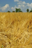 Swedish gold rye field Royalty Free Stock Photos